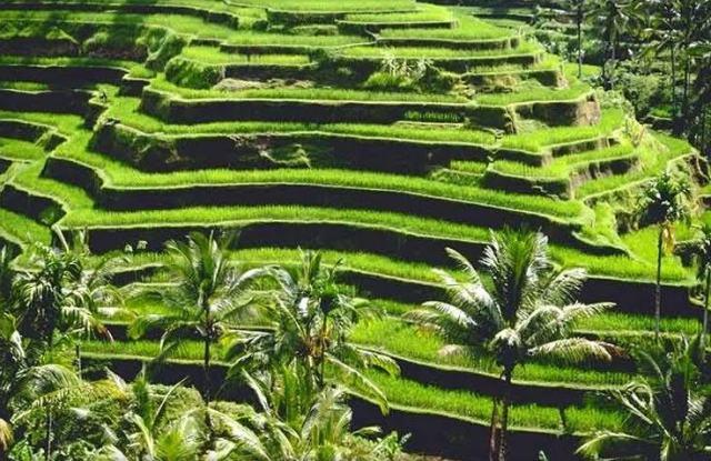 tegalalang-ricefield